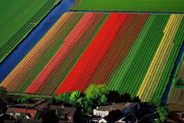 Поля тюльпанов неподалеку от голландского города Лиссе.