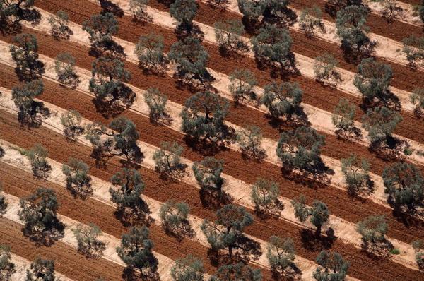 Оливковая плантация в Андалусии. Испания